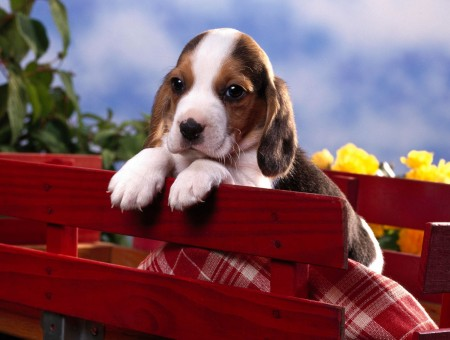 Tricolor Beagle Puppy In Red Wooden Crate