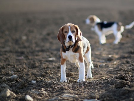 Beagle Pup On Gray Soil