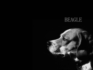 Desktop Wallpaper: Beagle Grayscale Pho...