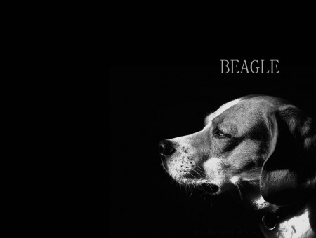 Beagle Grayscale Photography