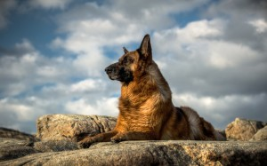Desktop Wallpaper: German Sheperd Above...