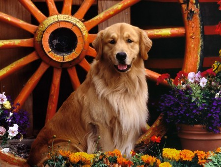 Dark Golden Retriever Sitting Near Flowers Blooming During Daytime