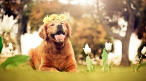 Desktop Wallpaper: Golden Retriever Wit...