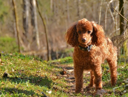 Tan Poodle On Grass Field