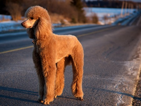 Brown Long Coat Dog
