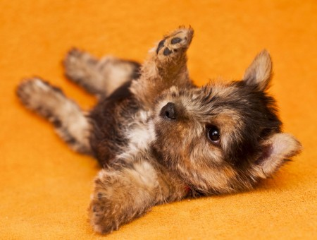 Black And Tan Yokrshire Terrier Puppy
