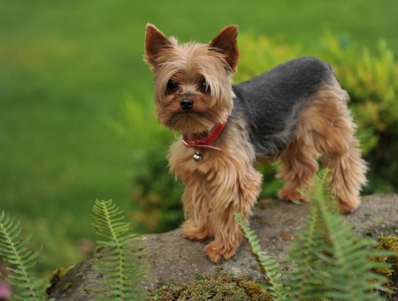Brown Black Yorkshire Terrier