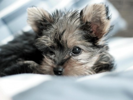 Black Brown Puppy Lying On White Bed