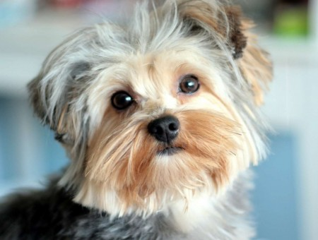 Tan And Grey Yorkshire Terrier