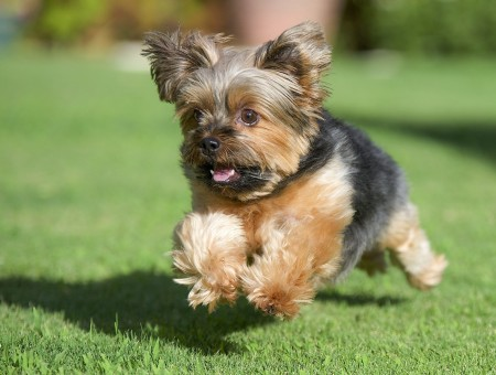 Brown Yorkshire Terrier