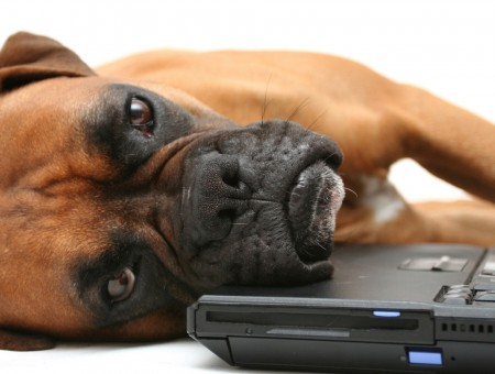 Brown Short Coated Dog Lying Beside Laptop Computer
