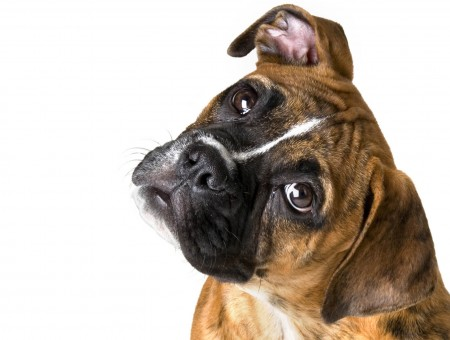 Brown Brindle Boxer Dog