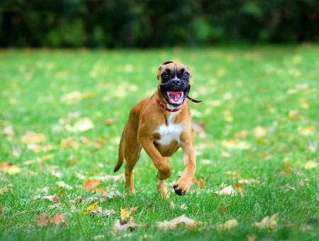 Brown Boxer Dog Running On Green Grass
