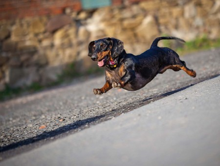Black And Tan Dachshund Jumped Over Pavement