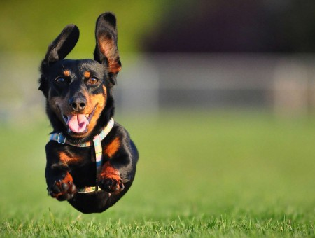 Black And Brown Short Haired Dog Leaping In The Air Over The Grass