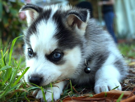 Black White Siberian Husky Puppy On The Grass Ground