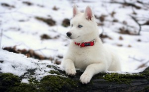 Desktop Wallpaper: White Siberian Husky...