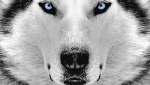 Desktop Wallpaper: White And Black Wolf