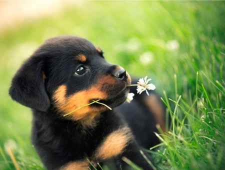 Black Tan Rottweiler Puppy Prone Lying On Green Grass Field During Daytime