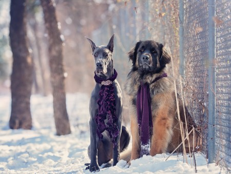 Gray Short Coated Dog Near A Brown And Black Short Coated Dog On A Snow