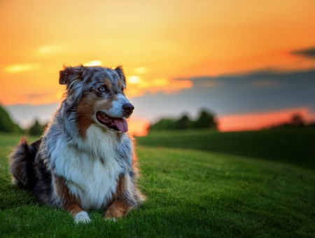 Gray White Brown And Black Long Coated Dog Lying Down On Green Grass Under Yellow Orange And Gray Sky During Sunset