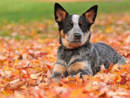 Black Brown And Gray Short Coated Medium Breed Dog Lying On Brown Dried Leaves During Daytime