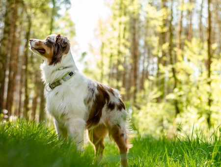 White And Tan Long Coat Medium Dog Standing In Green Grassy Field Sorrunded By Trees During Daytime