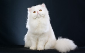 Desktop Wallpaper: White Himalayan Cat