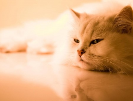 White Persian Cat On White Surface