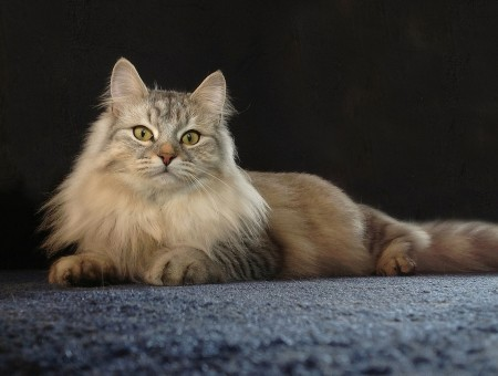 White Grey And Beige Long Fur Cat On Black Surface