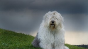 Desktop Wallpaper: Old english sheepdog