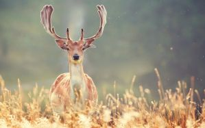 Desktop Wallpaper: Brown deer