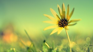 Desktop Wallpaper: Yellow daisy