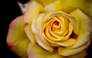 Desktop Wallpaper: Yellow rose
