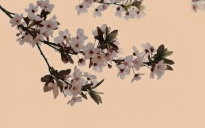 Desktop Wallpaper: White cherry blossom