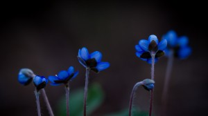 Desktop Wallpaper: Blue petaled flowers