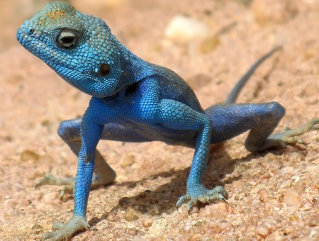 Blue reptile on sand