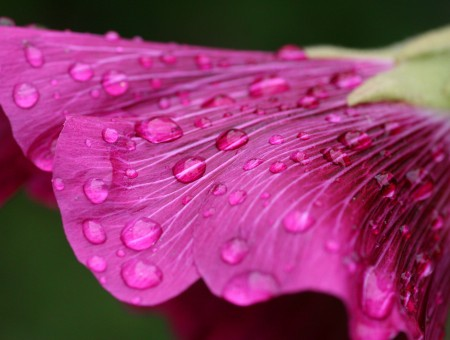 Raindrops on a petal