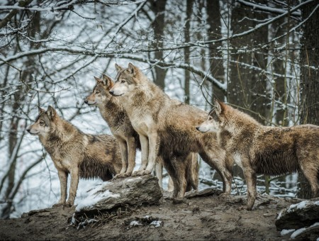 A pack of wolves in the winter forest