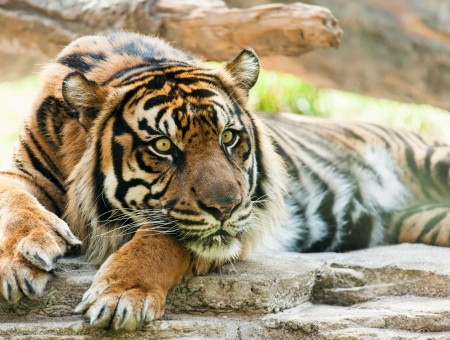 Wild tiger resting on the rocks
