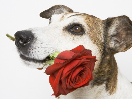 Dog and rose