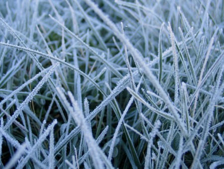 Grass in hoarfrost