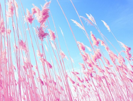 Pink grass and blue sky
