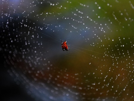 red spider in web