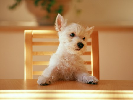 small white dog