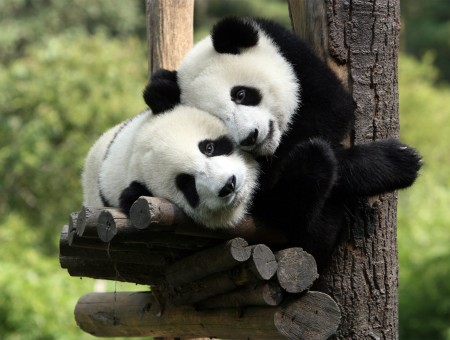 two pandas in forest