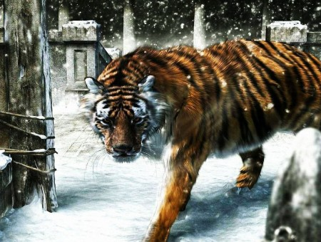 wild old tiger in snow