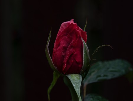 Rose in dark