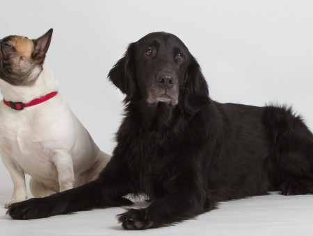 White and black dogs