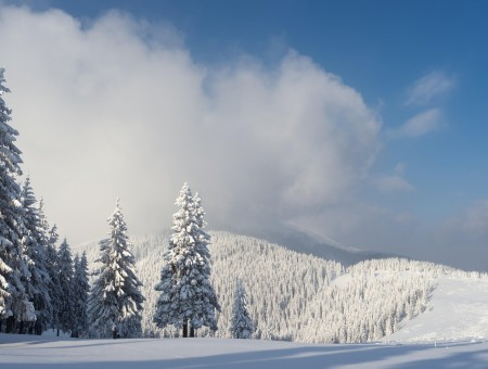 Winter spruce forest
